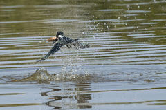 (Little)Ringed Kingfisher Making Splash with Large Fish Stock Images