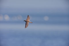 Little ringed Plaver in flight Royalty Free Stock Photography