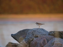Little Ringed Plover Stock Image