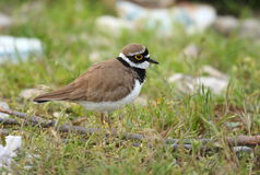 Little ringed plover. (charadrius dubius) standing on green grass Stock Photography