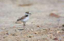 Little ringed plover. (charadrius dubius) looking for his mother Royalty Free Stock Photography