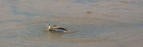 Little Ringed Plover bathing Royalty Free Stock Photo