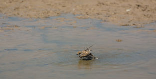 Little Ringed Plover bathing Royalty Free Stock Photography