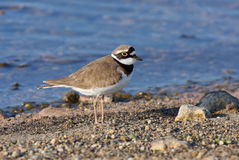 Little Ringed Plover on beach Stock Images