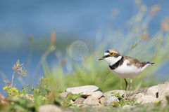Little Ringed Plover with beautiful background Royalty Free Stock Photo