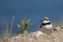 Little Ringed Plover with beautiful background Royalty Free Stock Photography
