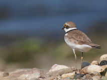 Little Ringed Plover with beautiful background Royalty Free Stock Image