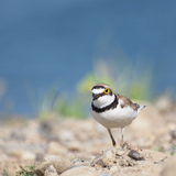 Little Ringed Plover with beautiful background Stock Photography