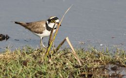 Little ringed plover Royalty Free Stock Images