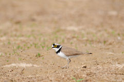 Little Ringed Plover Charadrius dubius Royalty Free Stock Image