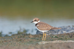Little ringed plover  ( Charadrius dubius ). Little ringed plover on then shore  ( Charadrius dubius Stock Photography