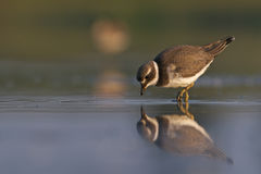 Little Ringed plover Charadrius dubius  Royalty Free Stock Photos
