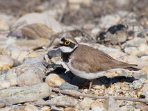 Little Ringed Plover, Charadrius dubius Royalty Free Stock Image