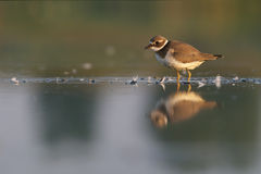 Little Ringed plover Charadrius dubius Royalty Free Stock Photo