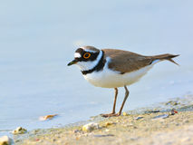 Little ringed plover - Charadrius dubius Royalty Free Stock Photos
