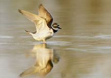 Little Ringed Plover (Charadrius dubius). Bathing ringed plover in sunset Stock Photo