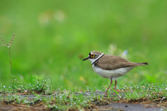 Little Ringed Plover (Charadrius dubius). On grass Stock Image