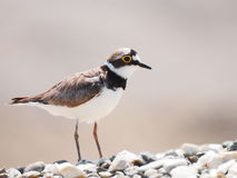 Little Ringed Plover, Charadrius dubius Royalty Free Stock Photo