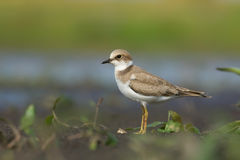 Little ringed Plover. Charadrius dubius. Royalty Free Stock Photos