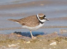 Little ringed plover (Charadrius dubius) Royalty Free Stock Photography