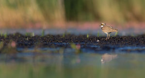 Little Ringed Plover - Charadrius dubius Royalty Free Stock Image