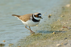 Little Ringed Plover - Charadrius dubius Royalty Free Stock Photo