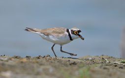Little Ringed Plover (Charadrius dubius) Stock Photos