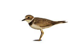Little ringed plover ( Charadrius dubius ). Royalty Free Stock Photos