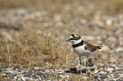 Little Ringed Plover (Charadrius dubius) Royalty Free Stock Photos