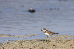 Common Ringed Plover (Charadrius hiaticula) Royalty Free Stock Images