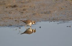 Little Ringed Plover (Charadrius dubius) Mirror Image Royalty Free Stock Photo