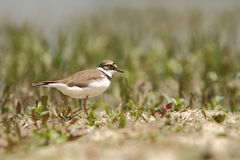 Little Ringed Plover Charadrius dubius Stock Images