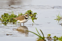 Little Ringed Plover (Charadrius dubius) Royalty Free Stock Images