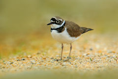 Little-ringed Plover, Charadrius dubius, in the nature habitat. Water bird on the sand beach. Bird in the little stones. Plover fr Royalty Free Stock Photo