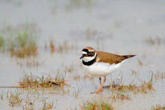 Little Ringed Plover (Charadrius dubius). The Little Ringed Plovers (Charadrius dubius) breeding habitat is open gravel areas near freshwater. They nest on the Stock Photos