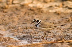Little Ringed Plover (Charadrius dubius Scopoli ) on river Royalty Free Stock Photo