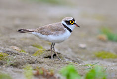 Little Ringed Plover (Charadrius dubius) Royalty Free Stock Photo