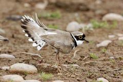 Little-ringed plover, Charadrius dubius Stock Photos
