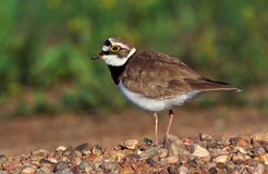 Little-ringed plover,  Charadrius dubius Royalty Free Stock Photo
