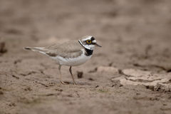 Little-ringed plover, Charadrius dubius Stock Photo