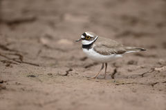 Little-ringed plover, Charadrius dubius Stock Images
