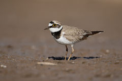 Little-ringed plover, Charadrius dubius Royalty Free Stock Photos