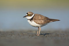 Little Ringed Plover Stock Images