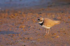 Little Ringed Plover (Charadrius dubius). Royalty Free Stock Photography