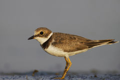 Little ringed plover ( Charadrius dubius ). Stock Photo