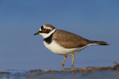 Little ringed plover ( Charadrius dubius ). In their natural habitat Royalty Free Stock Image