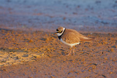 Little Ringed Plover (Charadrius dubius). Royalty Free Stock Photo