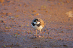 Little Ringed Plover (Charadrius dubius). Stock Photography