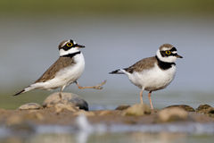 Little-ringed plover, Charadrius dubius Royalty Free Stock Images