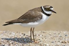 The little ringed plover Charadrius dubius very close up portrait stock photography